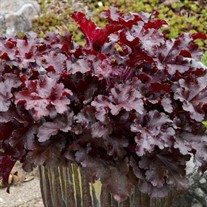Heuchera 'Cherry Truffles' DOLCE® series