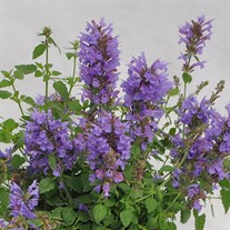 Agastache Sunrise 'Blue'