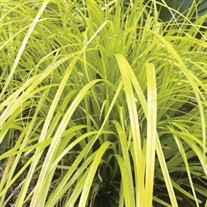 Carex o. 'Everillo' PP21002