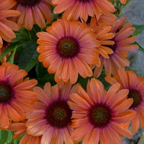 'Orange You Awesome' Coneflower