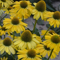 'Yellow My Darling' Coneflower
