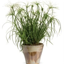 Graceful Grasses® King Tut® Egyptian Papyrus  Cyperus papyrus