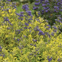 Bluebeard 'Gold Crest'