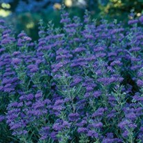 First Choice Caryopteris