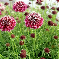 Scabiosa 'Royal Ruby'