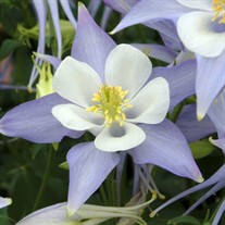 Origami Blue & White Columbine