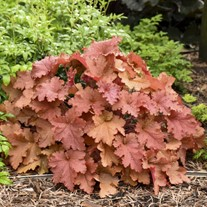 Primo® 'Peachberry Ice' Coral Bells