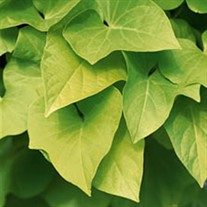 Chartreuse Sweet Potato Vine