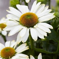 Innocent Meadow Mama™ Coneflower