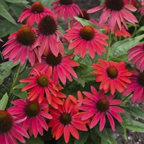 Echinacea LAKOTA™ Fire LAKOTA™ Series