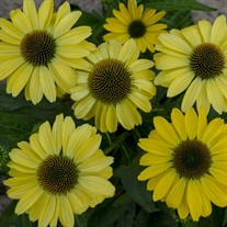 Echinacea 'Canary Feathers' PPAF EYE-CATCHER™ Collection