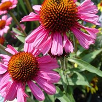 Pink Passion Coneflower