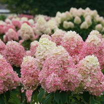 Hydrangea Limelight Prime Panicle