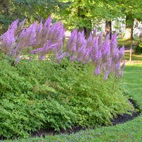 Astilbe c. 'Purple Candles'