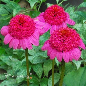 Coneflower 'Gum Drop'
