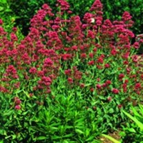 Ruber Jupiter's Beard, Red Valerian
