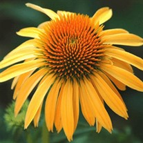 'Harvest Moon' Coneflower