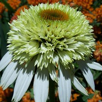 'Coconut Lime' Coneflower