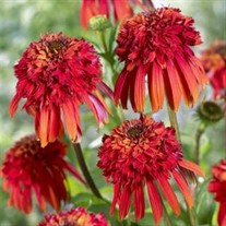 'Hot Papaya' Coneflower