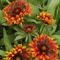 'Frenzy' Blanket Flower