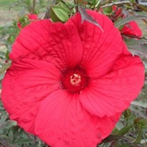 'Fireball' Rose Mallow'