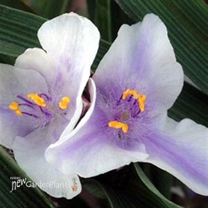 'Billberry Ice' Spiderwort