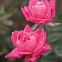 'Double Pink Knock Out' Rose