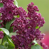 Lilac 'Royal Purple'