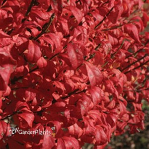 Burning Bush 'Fire Ball'