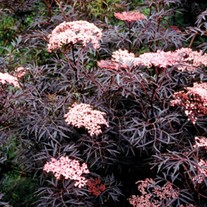 'Black Lace' Elderberry
