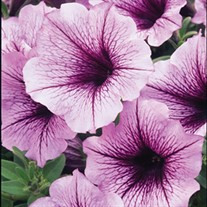 'Bordeaux' Supertunia®