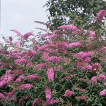 'Pink Delight' Butterfly Bush