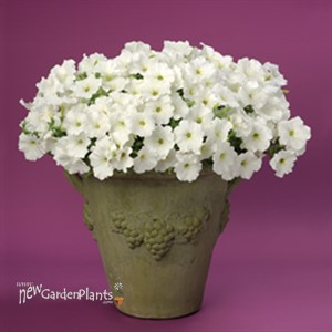 Supertunia® 'White'