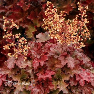 'Root Beer' Coral Bells