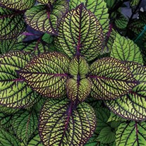 'Fishnet Stockings'  Coleus