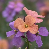 'Jenny Brook' Wallflower
