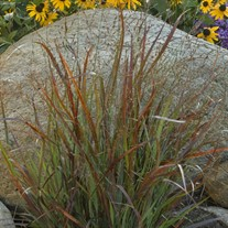 'Cheyenne Sky'  Red Switch Grass
