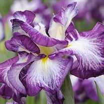 'Lion King' Japanese Iris