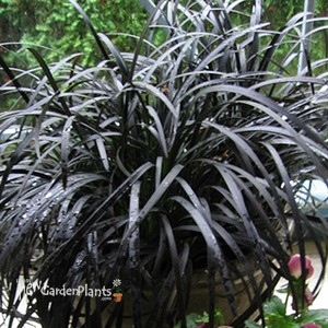 Black mondo grass ophiopogon 39 nigrescens 39 black dragon for Dark ornamental grasses