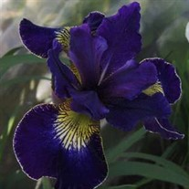 'Golden Edge' Iris