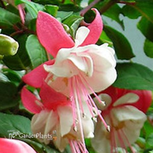 'Jingle Bells'  Hummingbird Plant