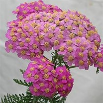 'Apple Blossom'  Yarrow