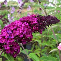 'Royal Red' Butterfly Bush