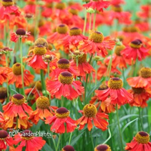 39 Ruby Tuesday 39 Sneezeweed Helenium 39 Ruby Tuesday 39 Helenium Sneezewort