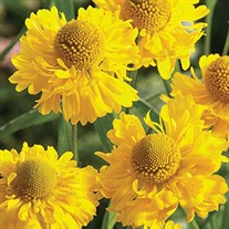 'Double Trouble'  Sneezeweed