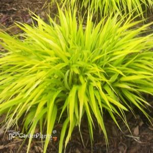 39 all gold 39 hakonechloa hakone grass 39 all gold 39 grass for Ornamental grass yellow