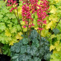 'Paris'  Coral Bells