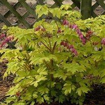 'Gold Heart'  Old-Fashioned Bleeding Heart