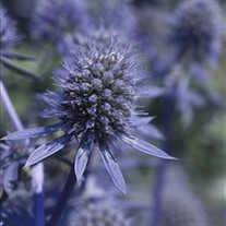 'Blue Glitter'  Sea Holly