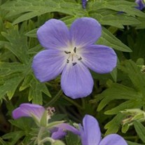 'Brookside'  Cranesbill